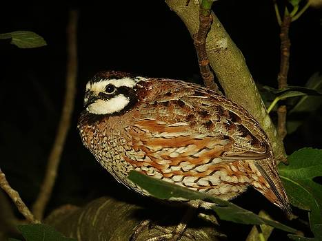 Bobwhite in A Fig Tree by Billy  Griffis Jr
