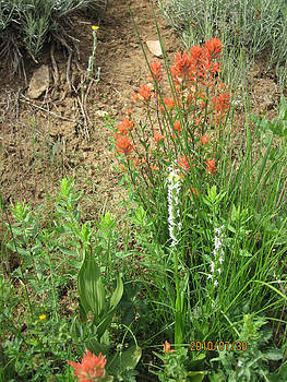 Bog orchid Red paintbrush on Mt A by Dan A  Barker