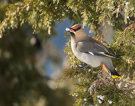 Bohemian Waxwing by Amy Gerber