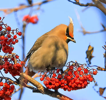 Bohemian Waxwing And Mountain Ash by Sam Amato