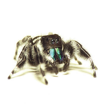 Bold Jumping Spider by Walter Klockers