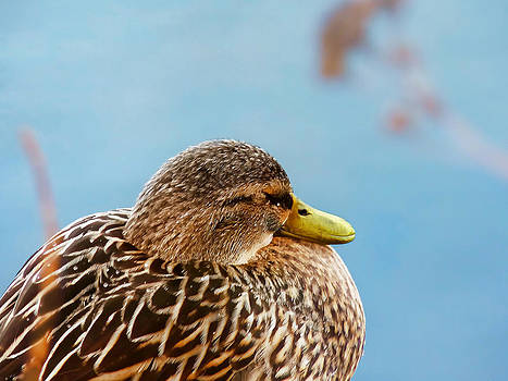 Bonding in Winter - Female Mallard Duck - Diptych Part 2 by Menega Sabidussi
