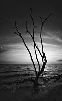 Bonita Beach Tree Black And White by Bradley R Youngberg