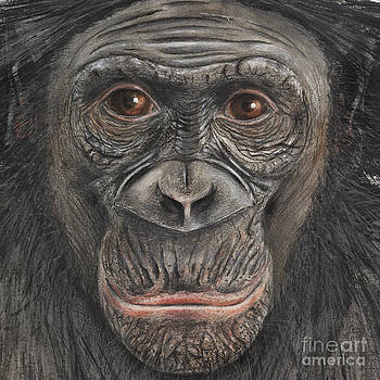 Bonobo Face - Pygmy Chimpanzee - Pan paniscus - fine art print - stock illustration - stock image by Urft Valley Art