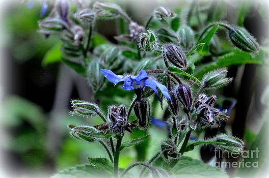 Borage by Tanya  Searcy
