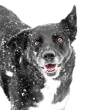 Border Collie in snow by Paulina Szajek