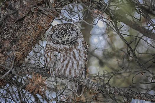 Gary Hall - Boreal Owl 2