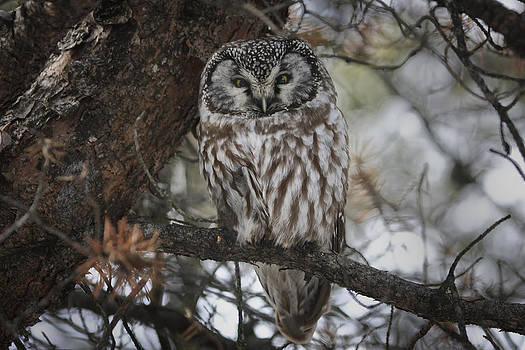 Gary Hall - Boreal Owl