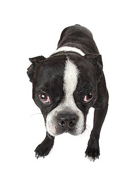 Boston Terrier Puppy by Perry Harmon