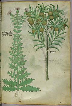 Botanical Illustration Of Melon Tree by British Library