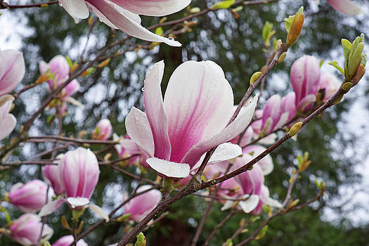 Baslee Troutman - Botanical Tree Pink White Magnolia Flowers