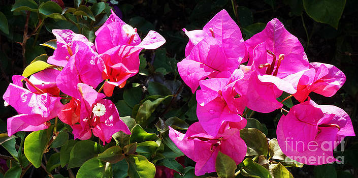 Bougainvillea flowers by Ursula Gill