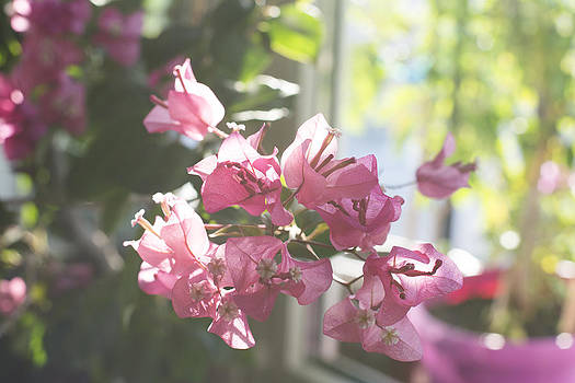 Newnow Photography By Vera Cepic - Bougainvillea tree in blossom
