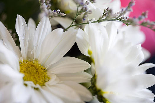 Bouquet of Daisies by John Holloway