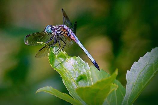 Rosanne Jordan - Bowing Dragonfly