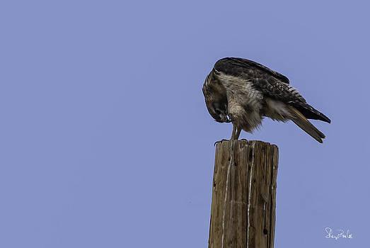 Bowing Hawk by Sheryl Cox