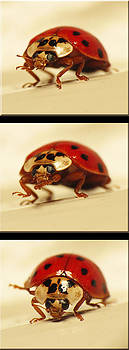 Bowing Ladybug . Art and Frame Print Only by Walter Klockers