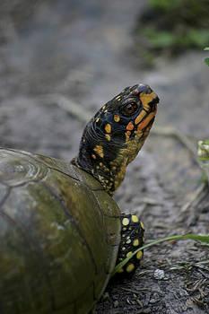 Three-toed Box Turtle by Corey Haynes
