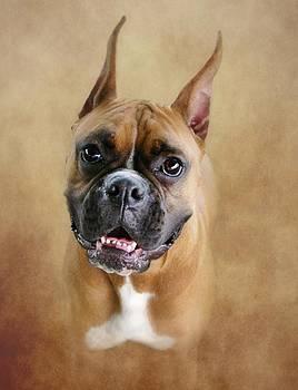 Boxer Portrait by Stephanie Calhoun