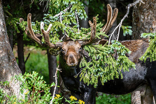 Brainard Lake Moose by Robert Yone
