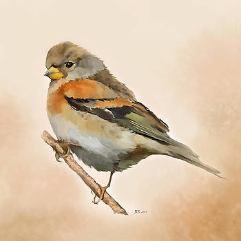 Brambling - Fringilla Montifringilla by Bamalam  Photography