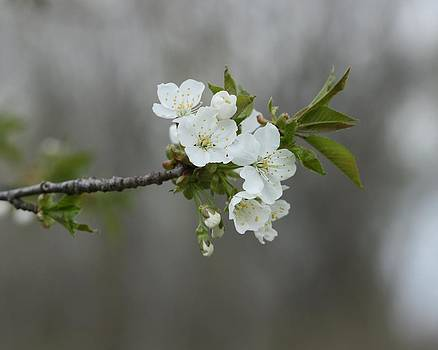 Gothicrow Images - Branch Of Spring