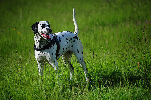 Jenny Rainbow - Brave Stand. Kokkie. Dalmation Dog