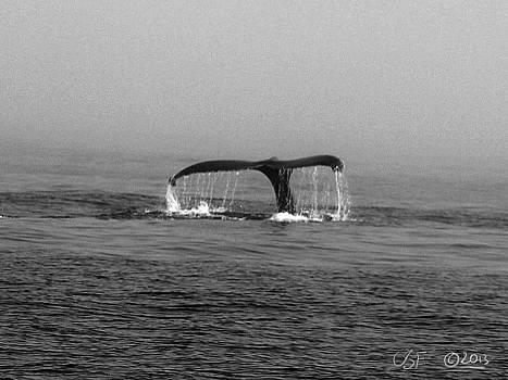 Breaching Humpback 1 by Chris Fieldhouse