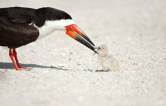 Black Skimmer and chick. by Evelyn Garcia