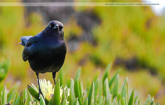 Brewster's Blackbird by Virag Yelegaonkar