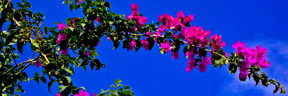 Bright Bougainvillea Blossoms by Brian Gibson