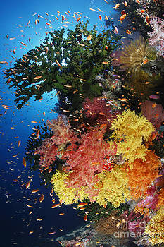 bright corals and schooling fish on tropical reef in Fiji by Brandon Cole