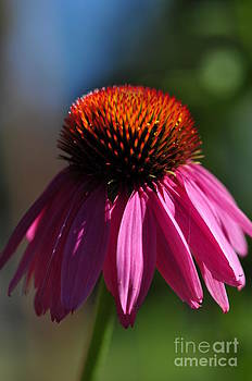 Bright Echinacea Flower by Tracy Lamus