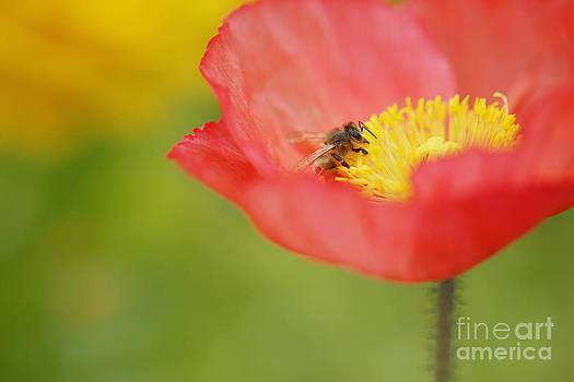Susan Gary - Bright Orange Poppy and Bee