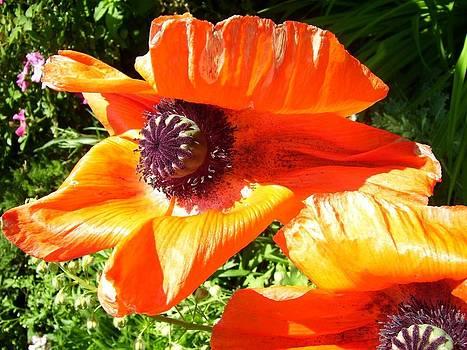 Bright Orange Poppy by Kristine Bogdanovich