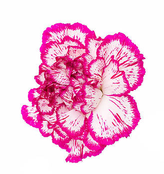 Fizzy Image - bright pink and white flower isolated