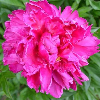 Eve Tamminen - Bright Pink Peony. #floralstyle #flower