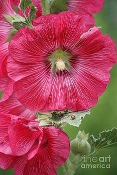 Bright Red Holly Hock closeup with Lady Bug by Robert D  Brozek