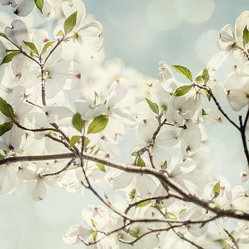 Lisa Russo - Bright White Dogwood Flowers against a Pastel Blue Sky with Dreamy Bokeh