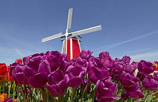 Bright Windmill At Tulip Garden by Ginger Sanders