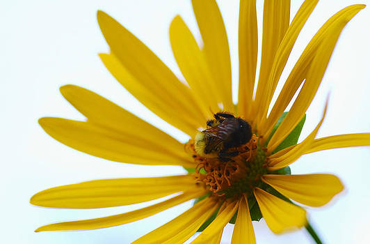 Debbie Oppermann - Cup Plant And The Bee