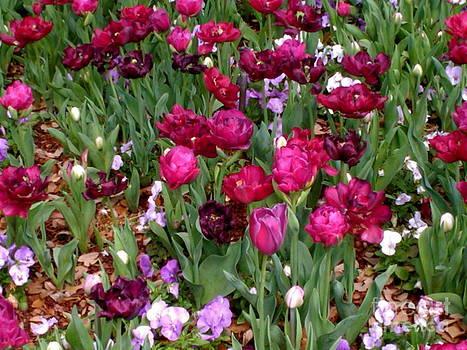 Sherri Williams - Brilliant Tulips