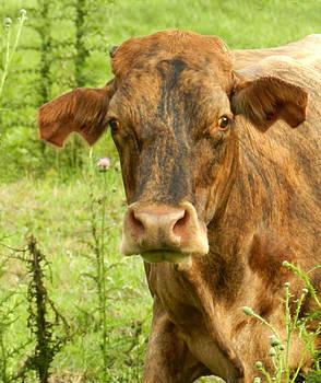 Grace Dillon - Brindle Cow