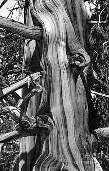 Mae Wertz - Bristle-cone Pine-2