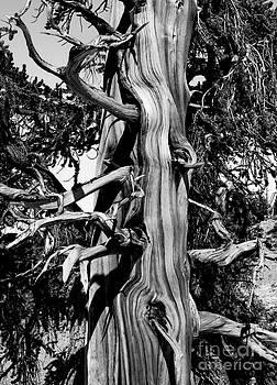 Mae Wertz - Bristle-cone Pine-4