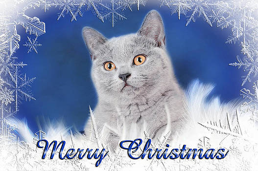 Waldek Dabrowski - British shorthair Christmas card