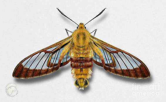 Broad-bordered Bee Hawk Moth Butterfly - Hemaris fuciformis naturalistic painting -Nettersheim Eifel by Urft Valley Art