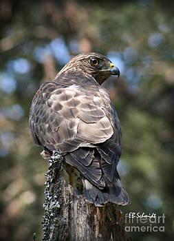 Broad-Winged Hawk by E B Schmidt