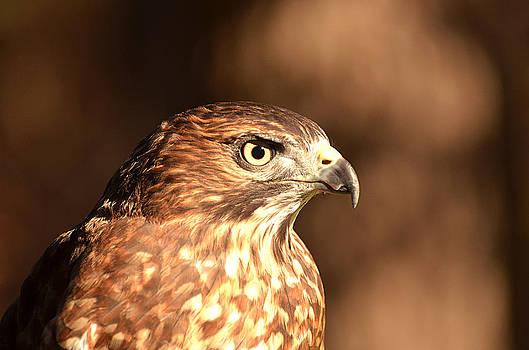 Broad-winged Hawk by Nancy Landry