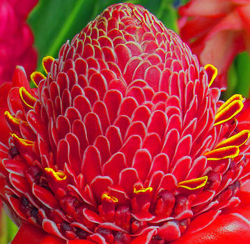 Bromealiade Petals by Tony and Kristi Middleton
